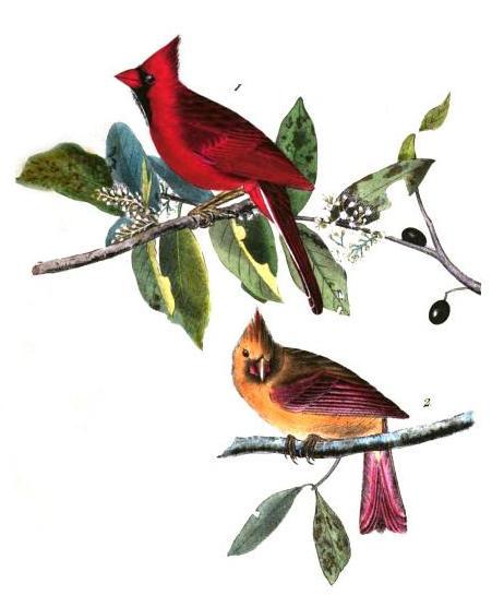 cardinal-grosbeak